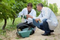Twee mensen die in labcoats developping druiven op wijnstokken inspecteren royalty-vrije stock afbeeldingen