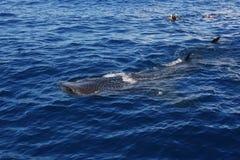 Twee mensen die met een walvishaai snorkelen Royalty-vrije Stock Foto's