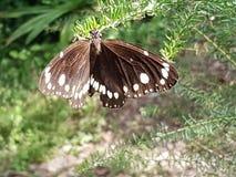 Twee merk-Kraai Vlinder stock afbeeldingen