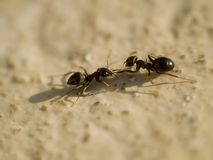 Twee mieren Royalty-vrije Stock Foto's
