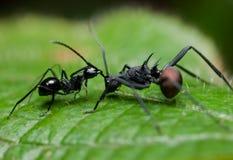 Twee mieren het vechten Royalty-vrije Stock Foto