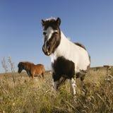 Twee miniatuurpaarden Falabella Stock Foto