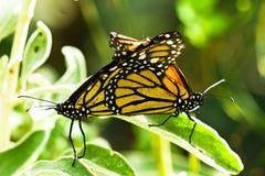 Twee monarchvlinders Royalty-vrije Stock Foto's