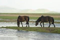 Twee Mongoolse paarden Stock Afbeelding