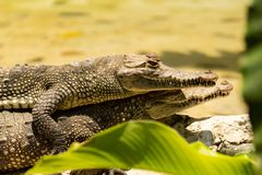 Twee mooie alligators die de zon en het rusten nemen royalty-vrije stock foto