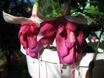 Twee mooie bloemen van Fuchsiakleurig David Lockyer Royalty-vrije Stock Foto's