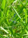 Twee mooie damselflies die op gras koppelen Royalty-vrije Stock Fotografie