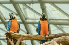 Twee mooie die arapapegaaien op tak worden neergestreken stock afbeeldingen