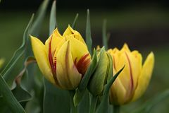 Twee mooie gele tulpen royalty-vrije stock foto's