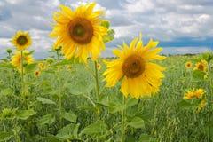 Twee mooie gele zonnebloemen Royalty-vrije Stock Foto