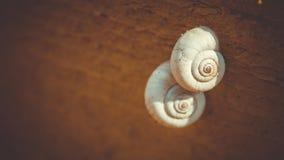 Twee mooie gevormde shells slakken klampten zich aan een boom vast Stock Afbeeldingen