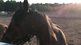 Twee mooie grijs-wit en zwarte paarden stock footage