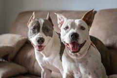 Twee mooie honden die op bank het glimlachen zitten stock foto