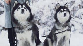 Twee mooie huskies die met ijzerkragen zitten op witte sneeuw in een park op de achtergrond van snow-covered struiken en stock footage