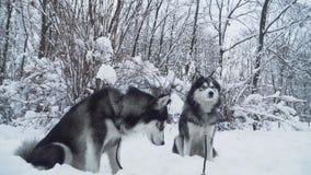 Twee mooie huskies die met kragen en leibanden op witte sneeuw in een park op snow-covered struiken en bomen zitten Honden  stock footage