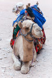 Twee mooie kamelen. Stock Afbeeldingen