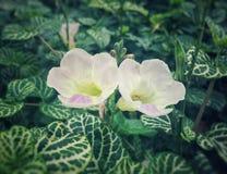Twee mooie kleine witte bloemen met een purper bloemblaadje Stock Foto