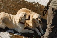 Twee mooie Labrador opleiding royalty-vrije stock afbeeldingen