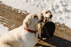 Twee mooie Labrador opleiding royalty-vrije stock foto's