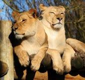 Twee mooie leeuwinnen Royalty-vrije Stock Foto