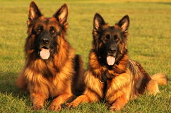 Twee mooie longstockduitse herder Royalty-vrije Stock Foto