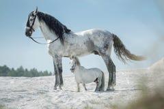 Twee mooie paarden die op de woestijn rusten Royalty-vrije Stock Afbeelding