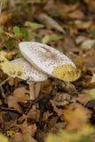 Twee mooie paddestoelen met platte kop groeien in het de herfstbos tegen een achtergrond van gele bladeren royalty-vrije stock foto's
