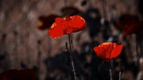 Twee mooie papaverknoppen Symbool van geheugen-papaver knop stock video