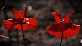 Twee mooie papaverknoppen Symbool van geheugen-papaver knop stock footage