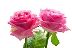 Twee mooie roze rozen Royalty-vrije Stock Afbeeldingen