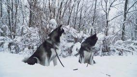 Twee mooie Siberische huskieshonden op een zwepenzetel op de sneeuw op de achtergrond van de winter wit bos stock videobeelden