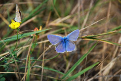 Twee mooie vlinders Royalty-vrije Stock Fotografie