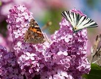 Twee mooie vlinders die op een tot bloei komende sering zitten Stock Foto's