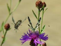 Twee mooie vlinders swallowtail en een bij Stock Afbeeldingen