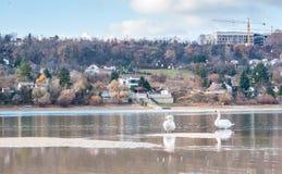 Twee mooie vrije bevallige wilde witte stodde vogels die van het zwanenpaar in het water in het aardgevoel zwemmen kalmeren in pa stock foto
