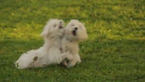 Twee mooie witte honden die op het gras, het pluizige huisdieren genieten van in openlucht spelen stock video