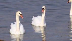 Twee mooie witte zwanen zwemmen op Abrau-meer op zoek naar vissen stock footage