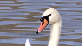 Twee mooie witte zwanen zwemmen op Abrau-meer op zoek naar vissen stock video