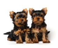 Twee mooie Yorkshire puppy op witte achtergrond Royalty-vrije Stock Afbeelding