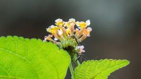 Twee mug zuigende nectar van Lantana bloem-India Stock Afbeelding