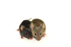 Twee muizen Stock Afbeeldingen