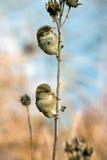 Twee Mussen Stock Afbeeldingen