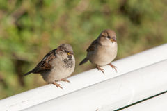 Twee mussen op een witte bank Stock Foto