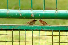 Twee Musvogels die Gesprek doen royalty-vrije stock fotografie