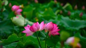 Twee naast elkaar geplaatste lotusbloembloemen Stock Foto