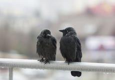 Twee natte kraaien die op balkonspoor zitten royalty-vrije stock foto's