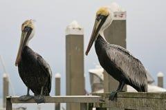 Twee neergestreken pelikanen Stock Fotografie