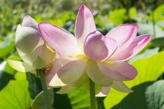 Twee Nelumbo Nucifera, Heilig Lotus Stock Afbeelding