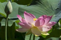 Twee Nelumbo Nucifera, Heilige Lotus Flowers Stock Foto's
