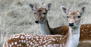 Twee nieuwsgierige deers die een dichtere blik hebben Royalty-vrije Stock Afbeeldingen